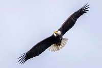 Bald Eagle in-flight