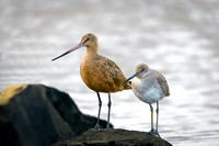 Marbled Godwit and Willet