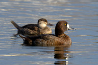 Ruddy Duck and Lesser Scaup