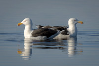 Great Black-backed Gulls