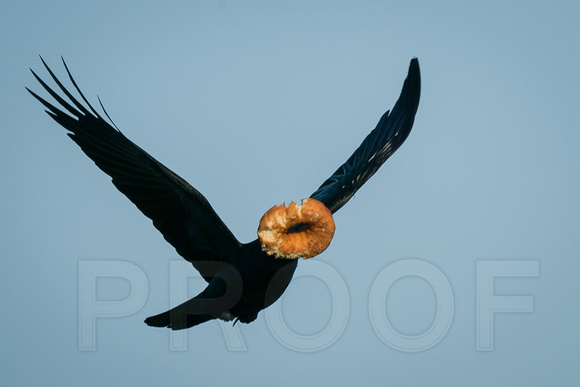 Crow with a Donut!