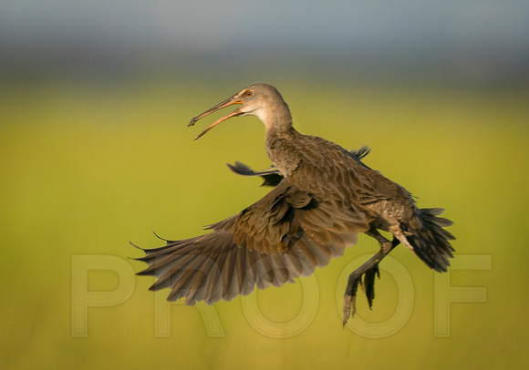 Clapper Rail in-flight