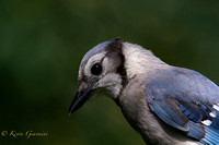 Blue Jay close-up