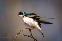 Tree Swallow at Lake Galena 4/12/2015