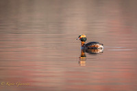 Horned Grebe at Lake Galena 4/13/15