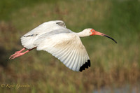 Ibis in flight.