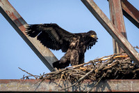 Eaglet stretching his wings!