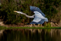 Great Blue Heron in-flight