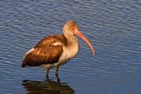 Ibis at Fort Fisher