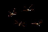 Composite - Dragon Flies