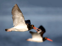 Oyster Catchers in-flight