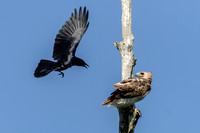 Grackle Harassing a Red-tailed Hawk