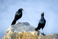 Grackle conference