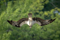 Osprey Diving