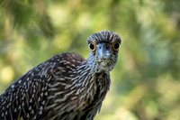 Juvenile Yellow-crowned Heron