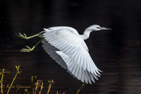 Juvenile Little Blue Heron - Take off!