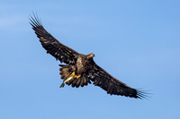 Juvenile Bald Eagle with Fish - 1