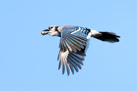 Blue Jay with acorns