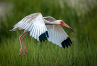 White Ibis landing in the marsh