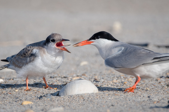 Baby tern getting a meal from an adult