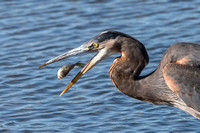 Breakfast for the Great Blue Heron