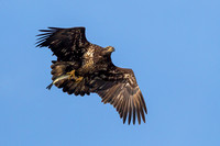 Juvenile Bald Eagle with Fish - 3