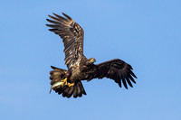 Juvenile Bald Eagle with Fish - 2
