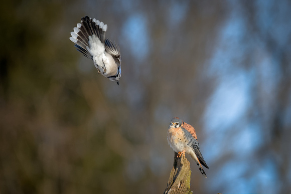 Blue Jay and American Kestrel