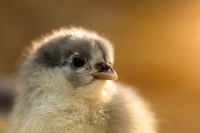 Baby chick -  One day old
