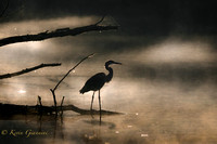 Heron in the early morning fog