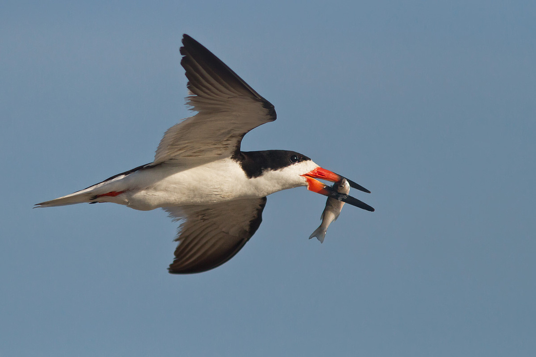 Black Skimmer with Meal